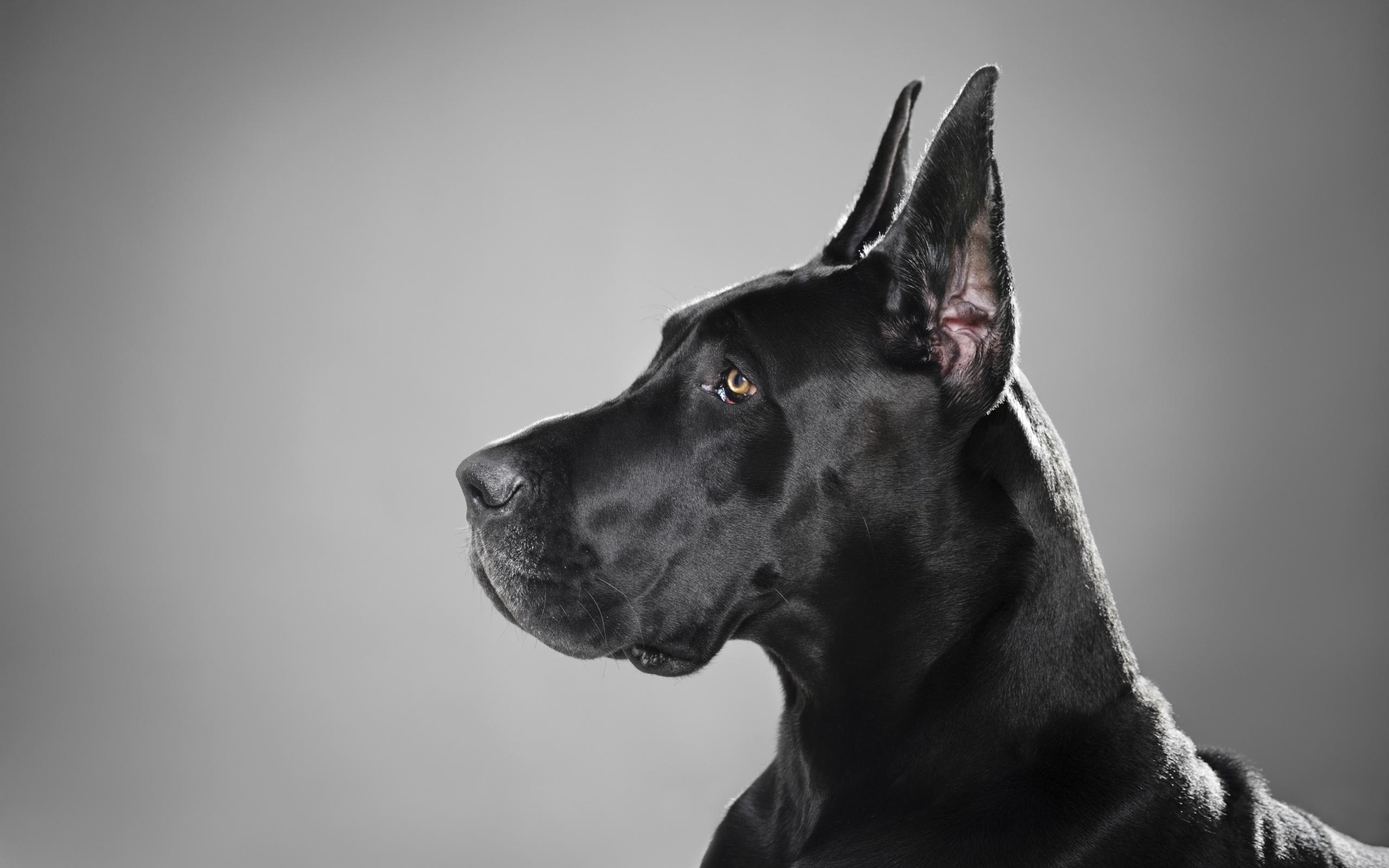 great dane puppy wallpaper - photo #15