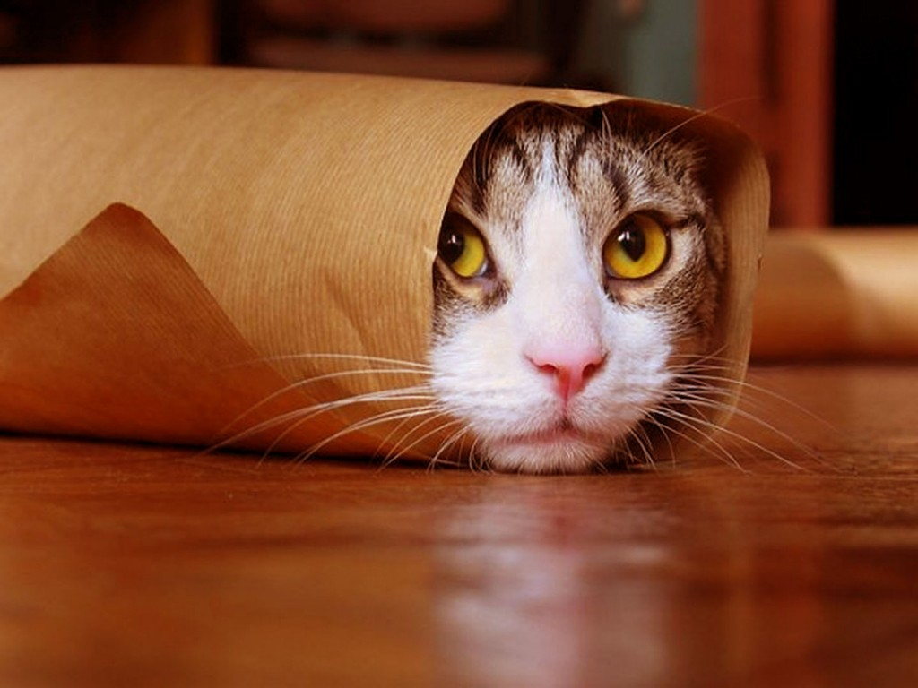 Funny cat wallpapers pictures images for Immagini divertenti desktop