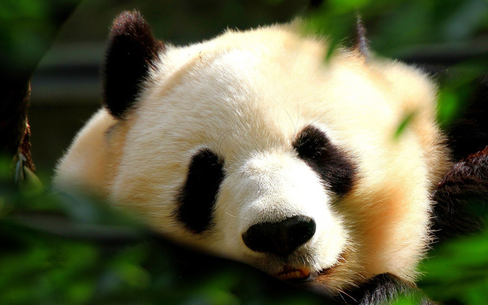 Panda Wallpapers, Pictures, Images