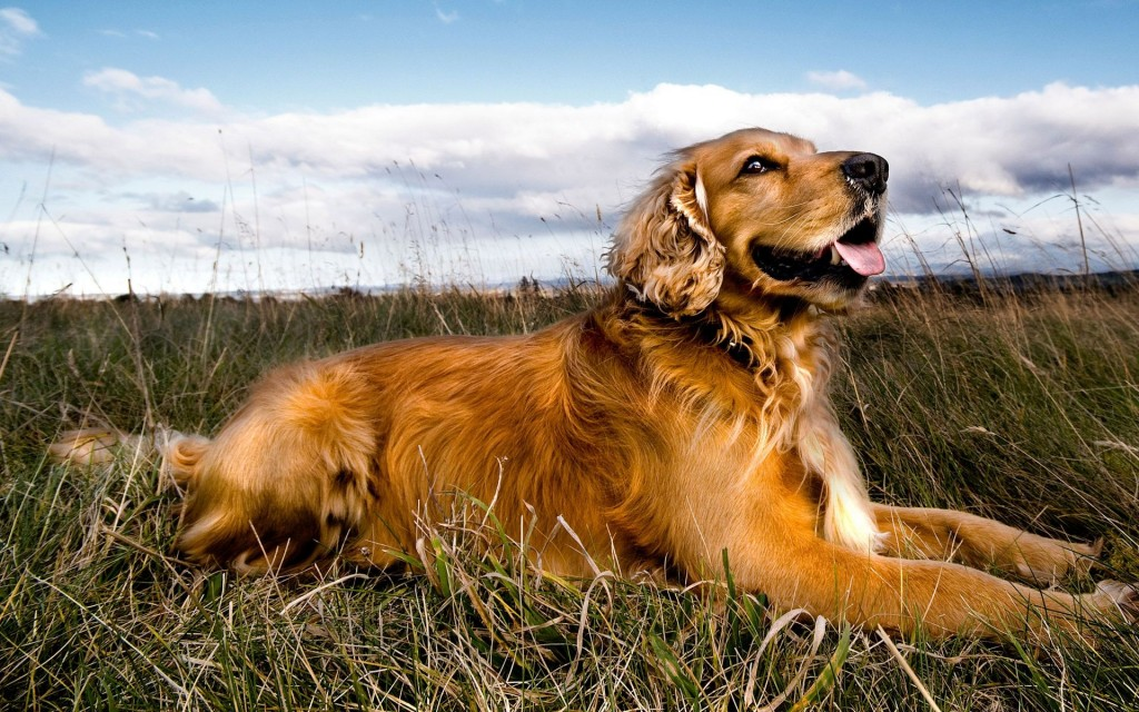 Golden retriever wallpapers pictures images - Free cocker spaniel screensavers ...