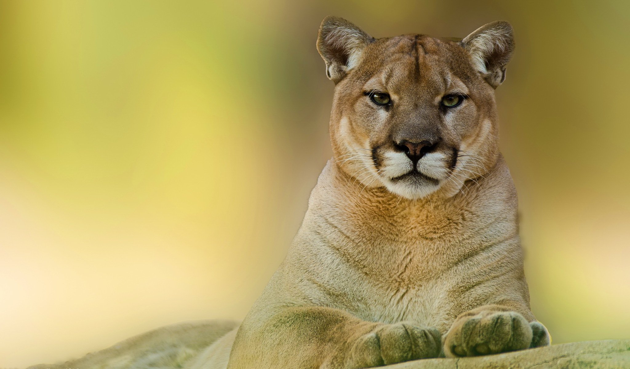 tagged with animal cat puma wallpapers