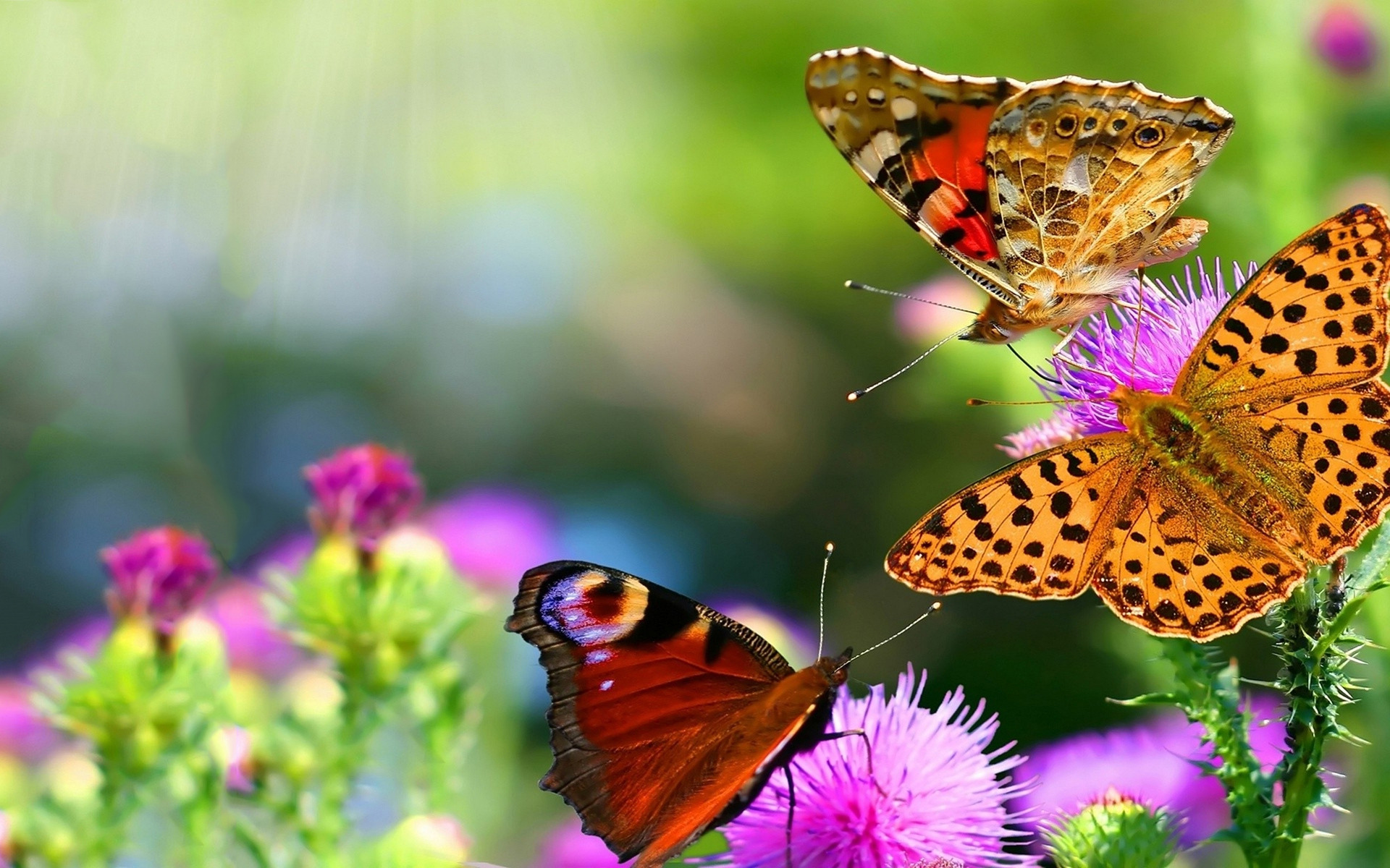 Beautiful Butterflies Wallpapers, Pictures, Images - photo#9