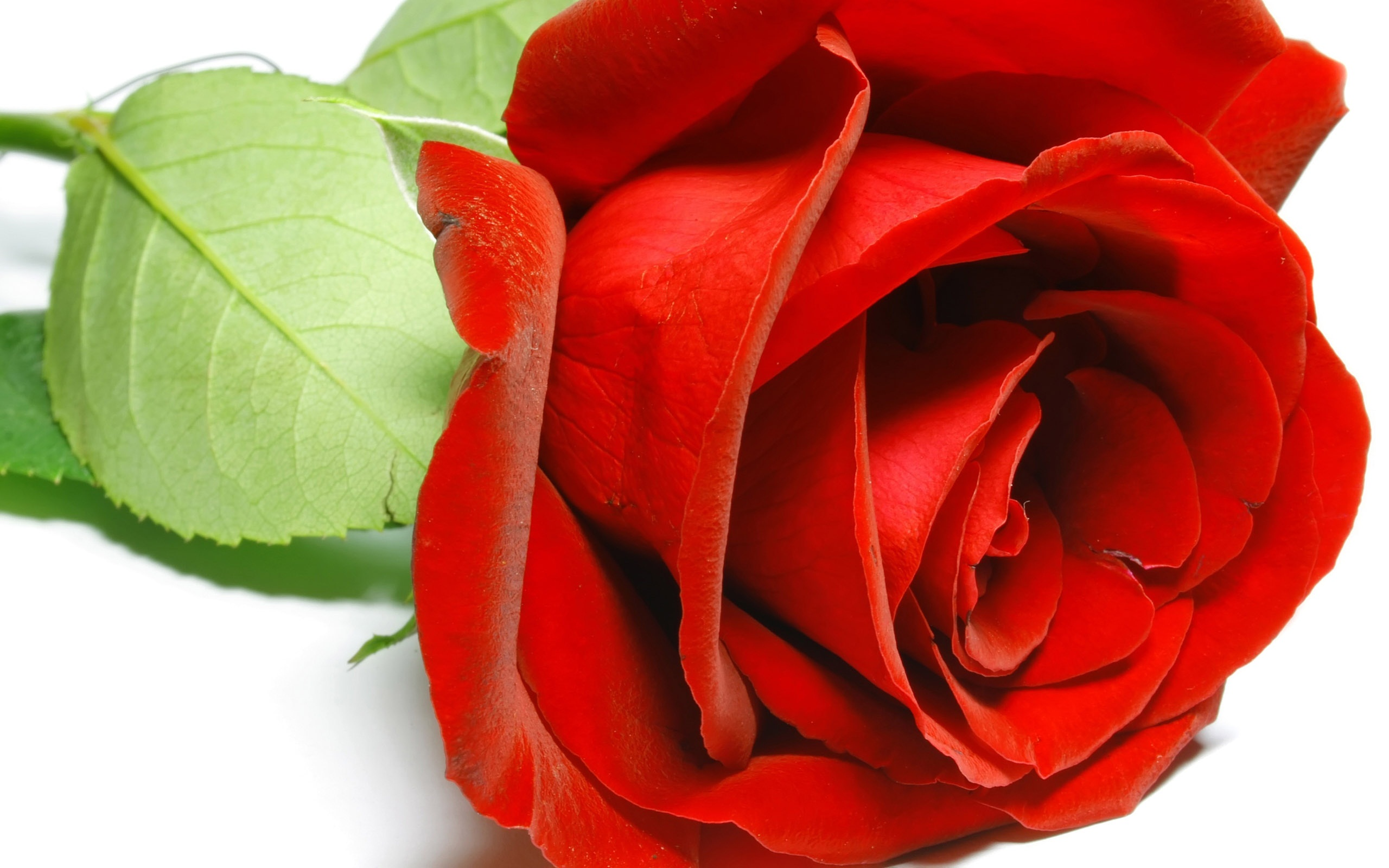 Red rose wallpapers pictures images - Red rose flower hd images ...