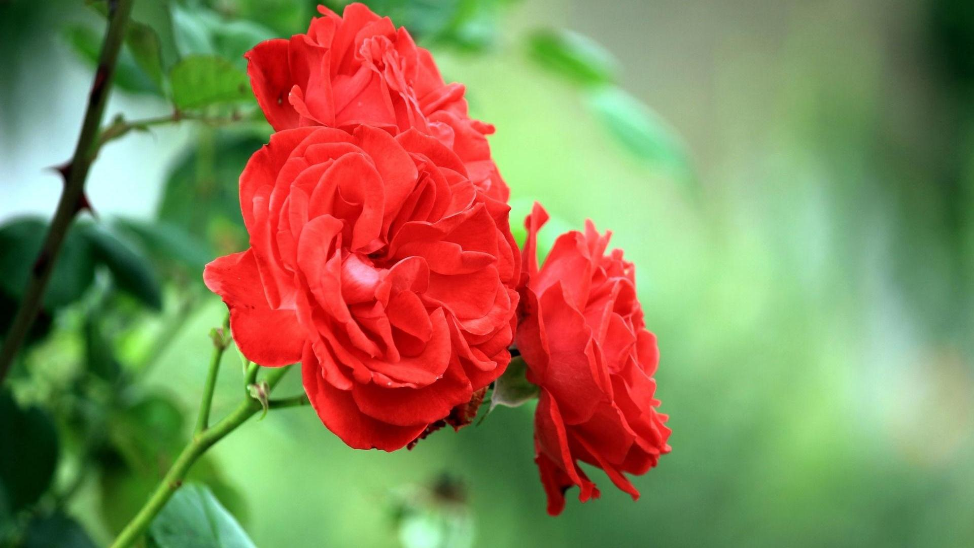 Knumathise Red Rose Flower Garden Wallpaper Images