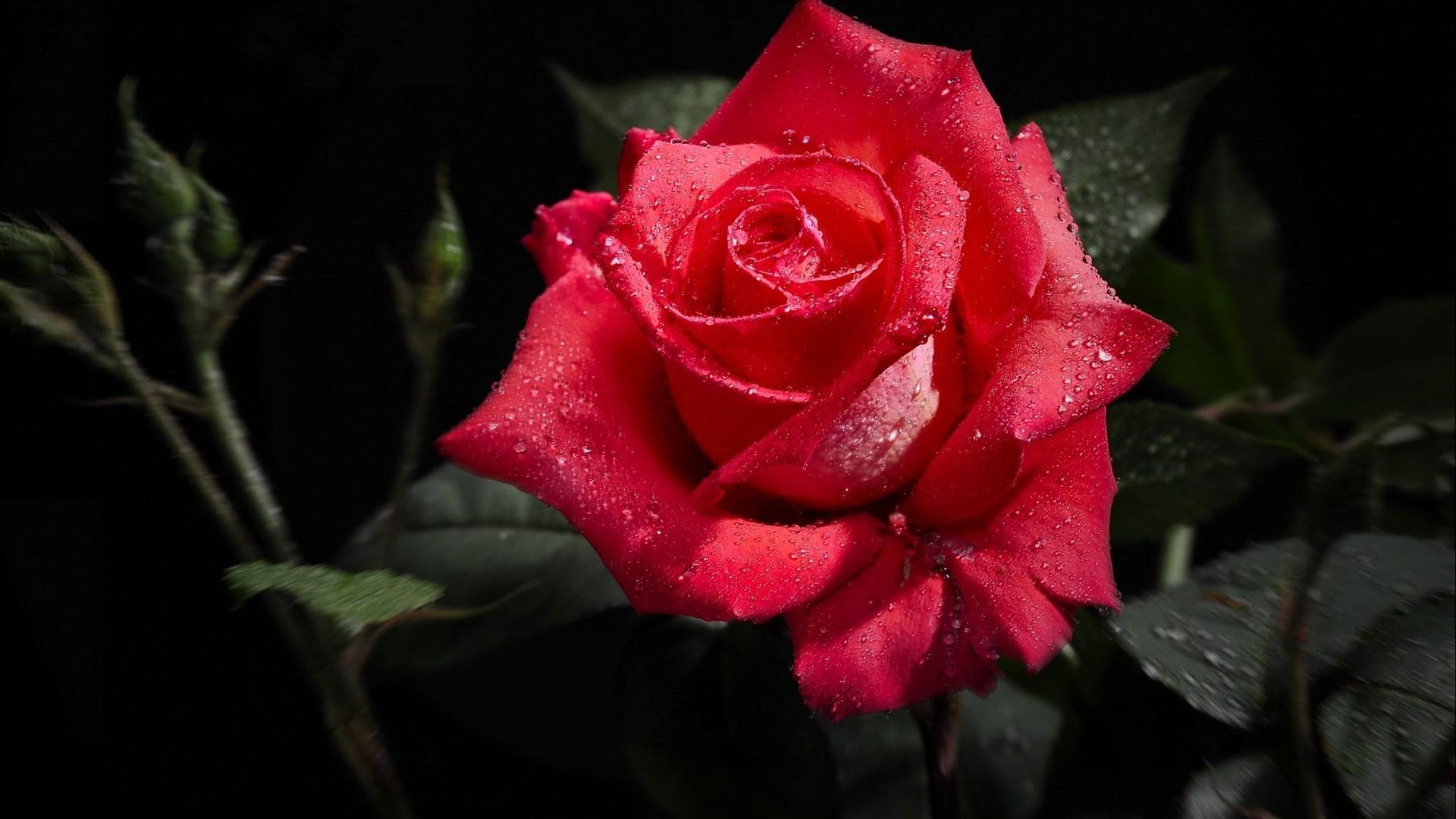 Hd wallpaper rose -  Red Rose Wallpaper