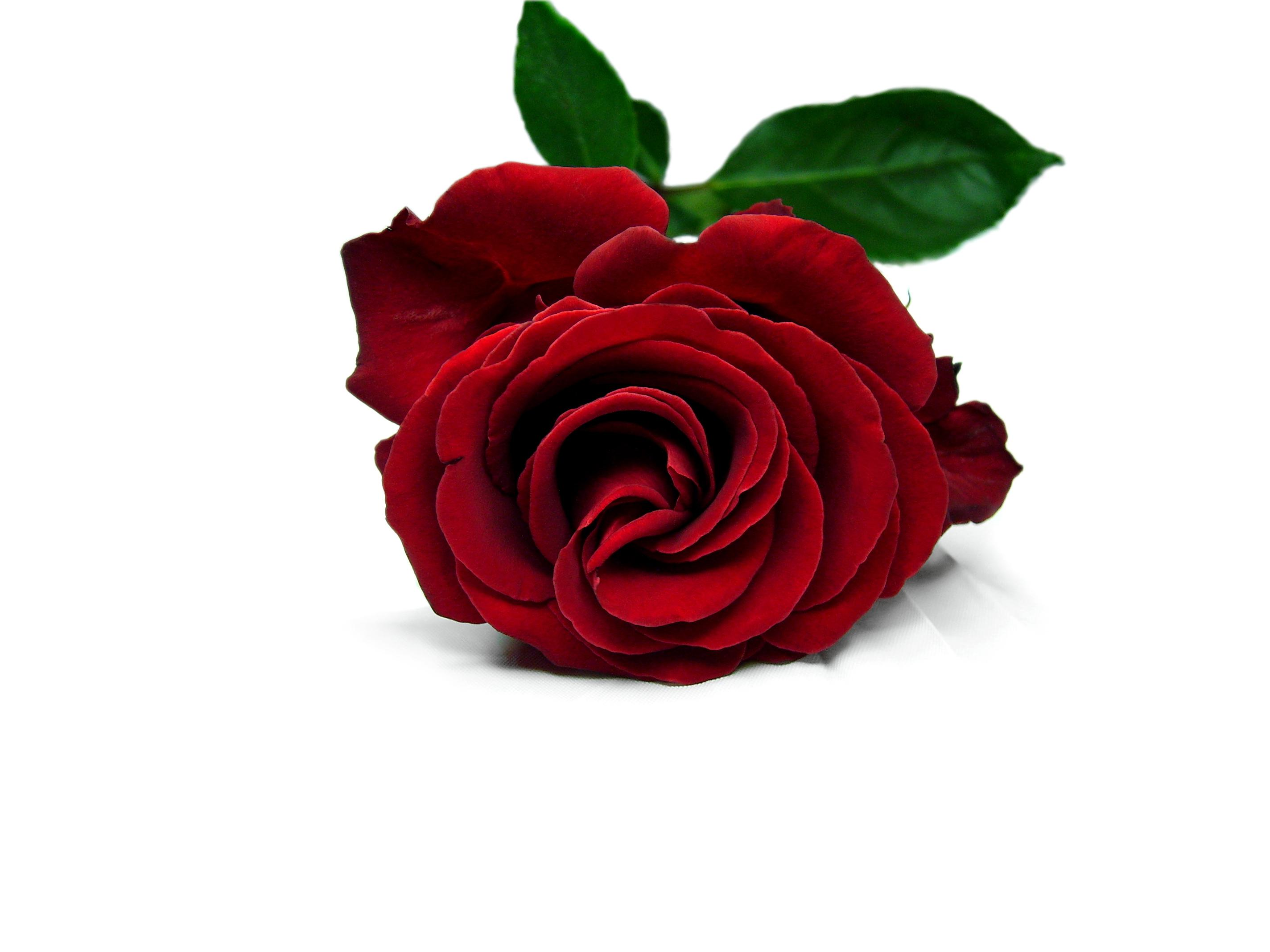Red Rose Wallpapers Pictures Images