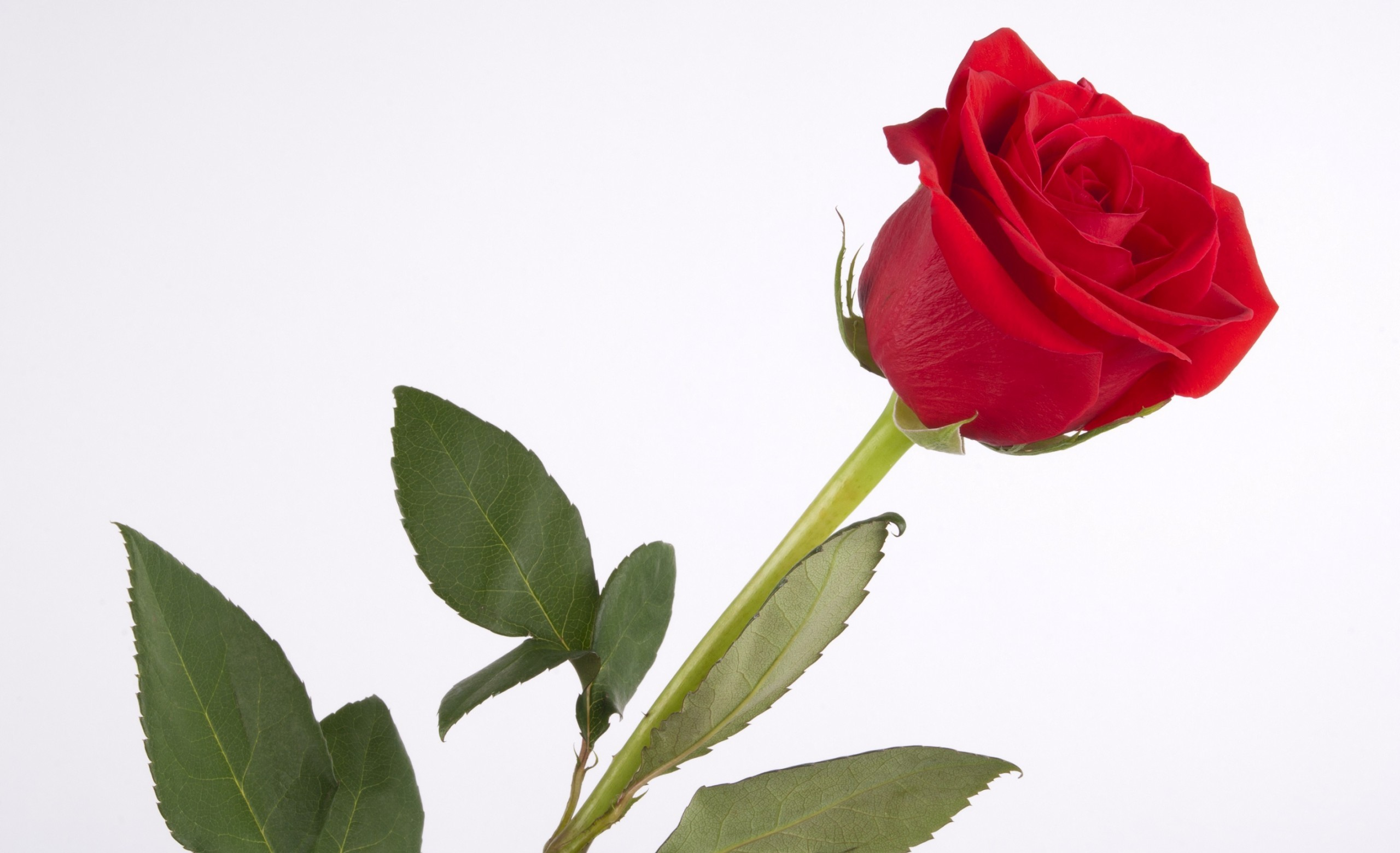 red rose background hd - photo #36