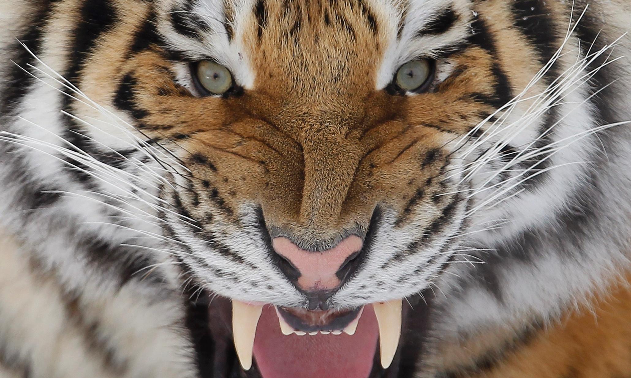 siberian tiger There are many different kinds of big cats on earth this lesson will teach you about the siberian tiger, where it lives, what it eats and some.