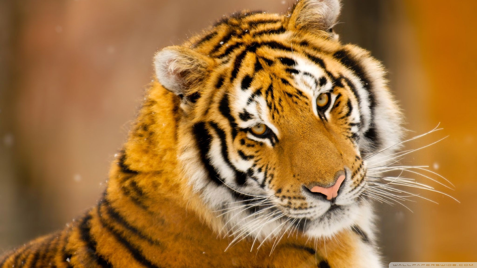 Siberian tiger wallpapers pictures images - Animal 1920x1080 ...
