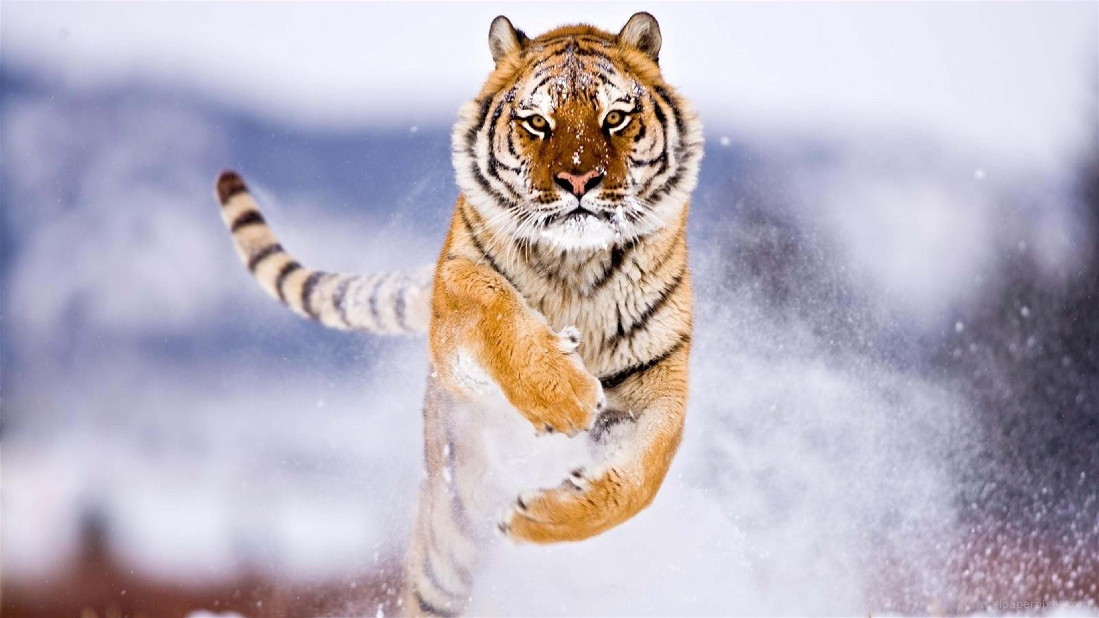 Siberian Tiger Wallpapers Pictures Images