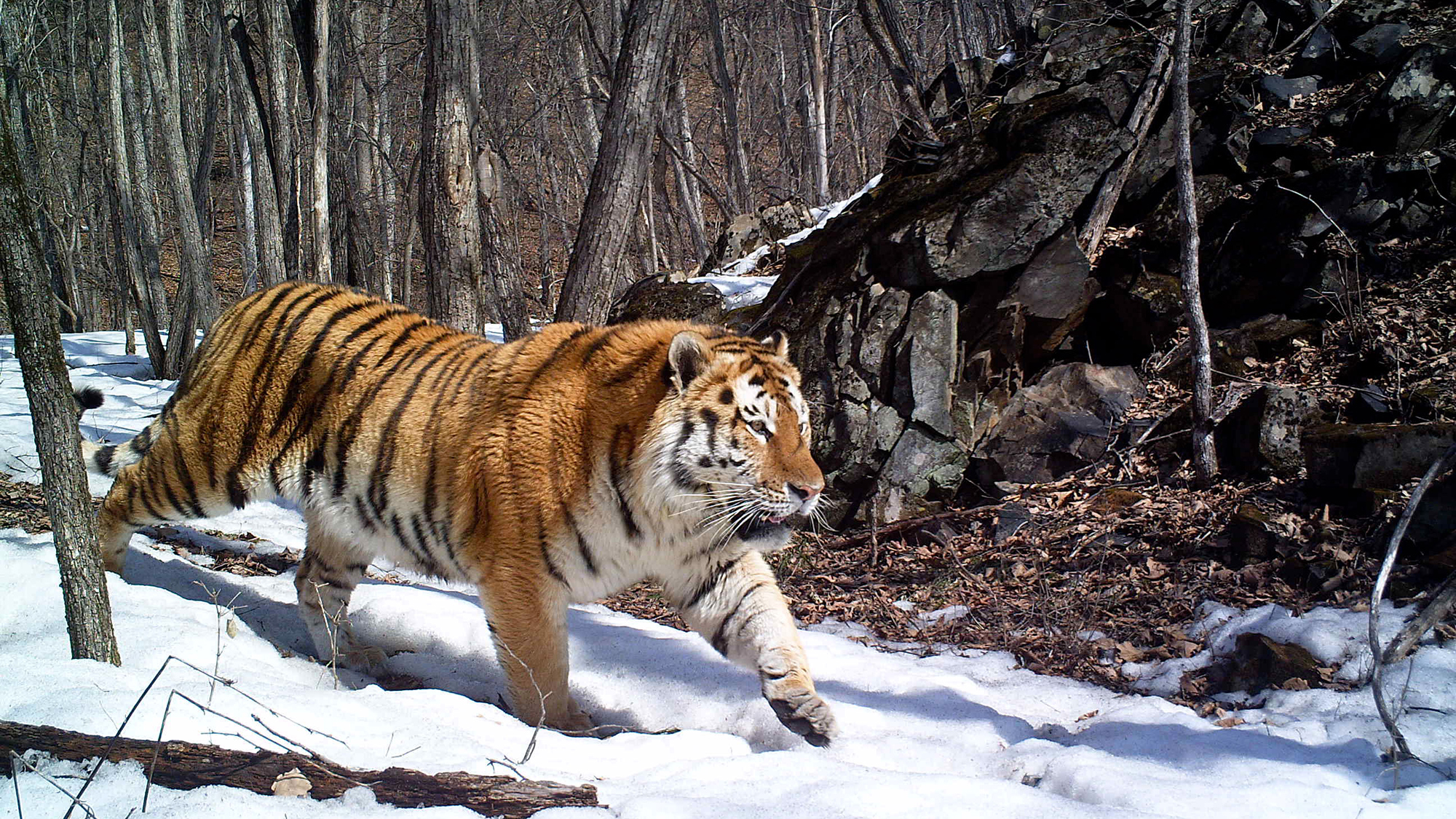 Baby siberian tiger wallpaper - photo#25