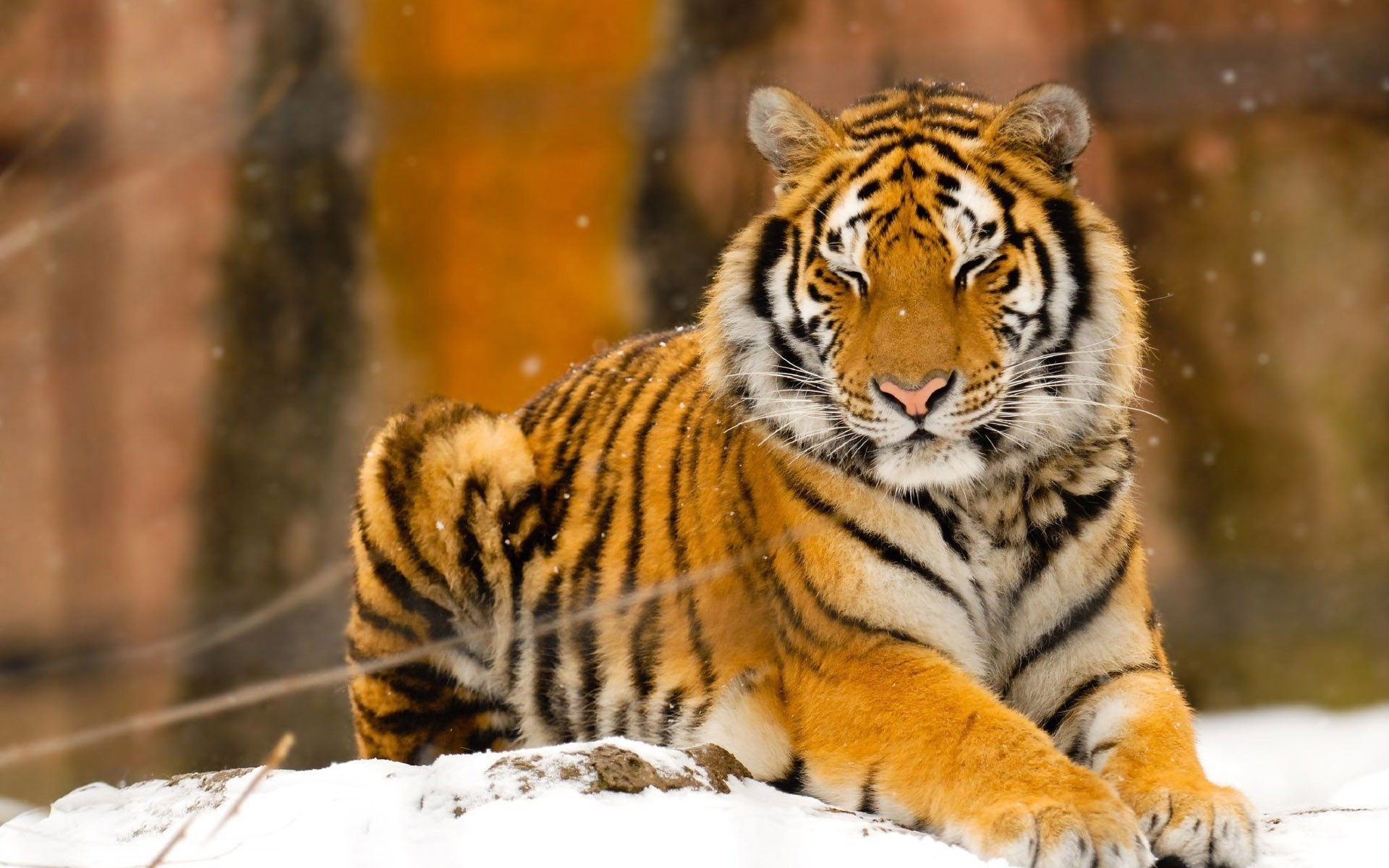 Siberian Tiger Wallpapers, Pictures, Images