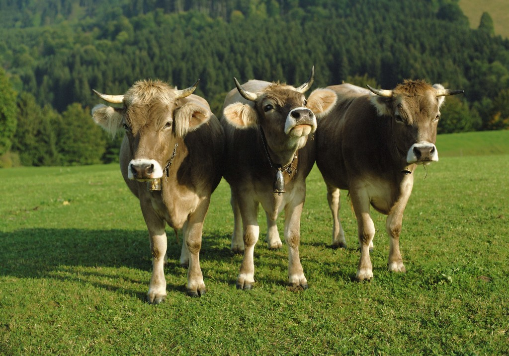 Cows Wallpaper