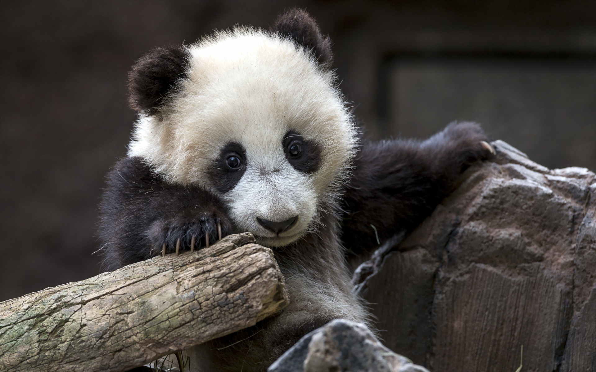 Giant Panda Wallpapers Pictures Images