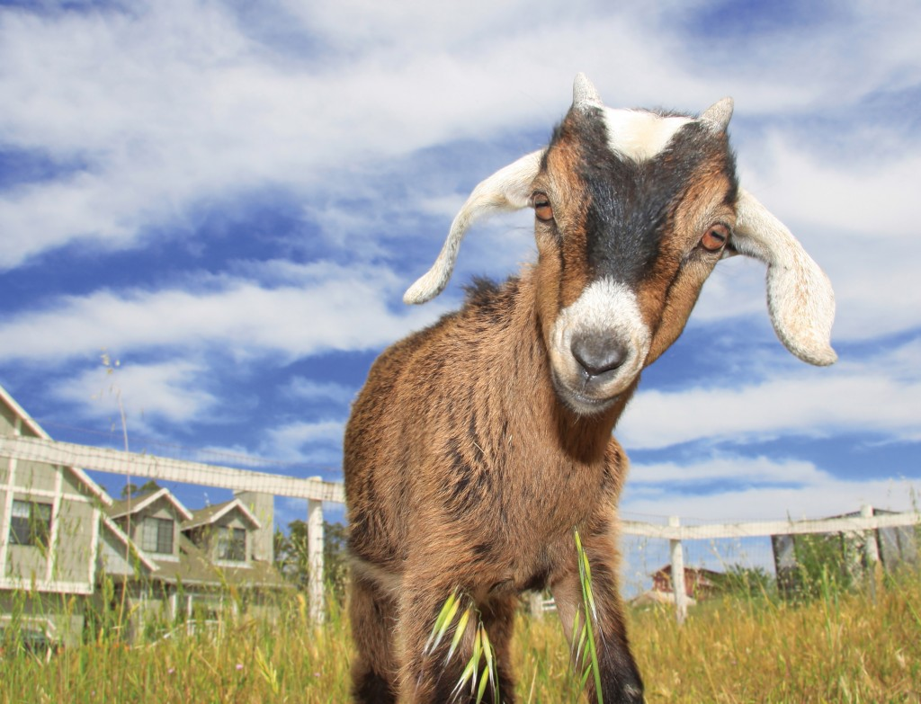 Funny Pictures Of Goats Cute Goats Wallpapers,...
