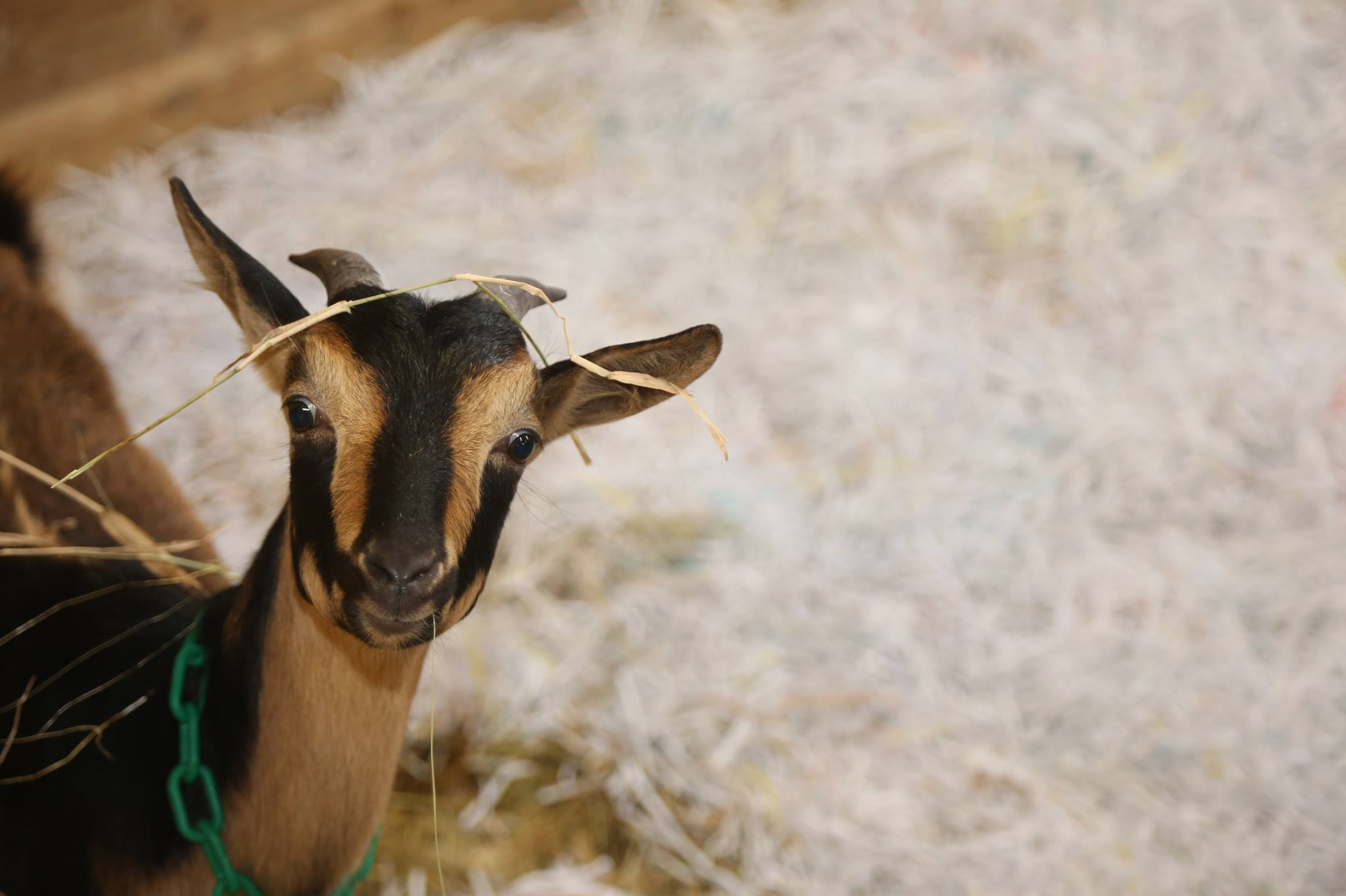 Cute Goats Wallpapers Pictures Images