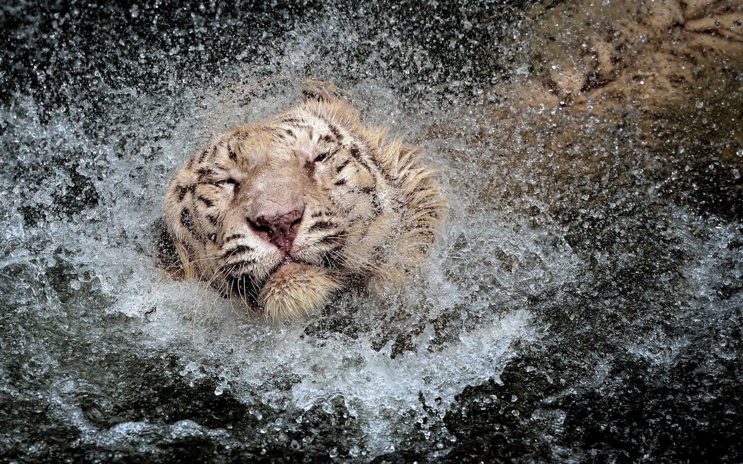 White Tiger Wallpaper