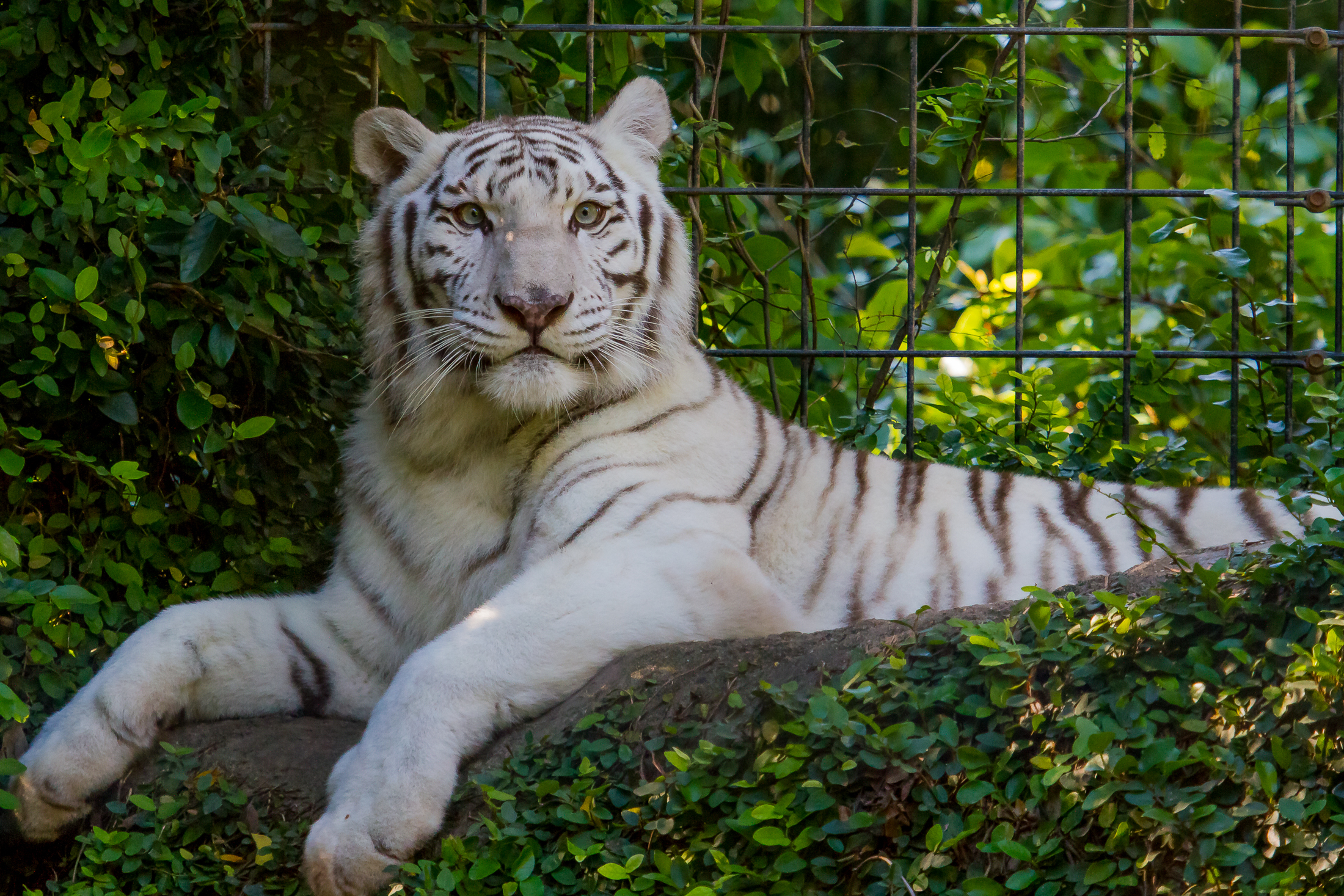 White Tiger Wallpapers Pictures Images
