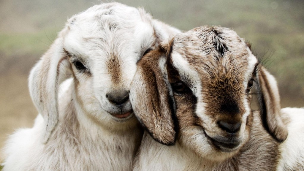 Cute Goats Wallpaper