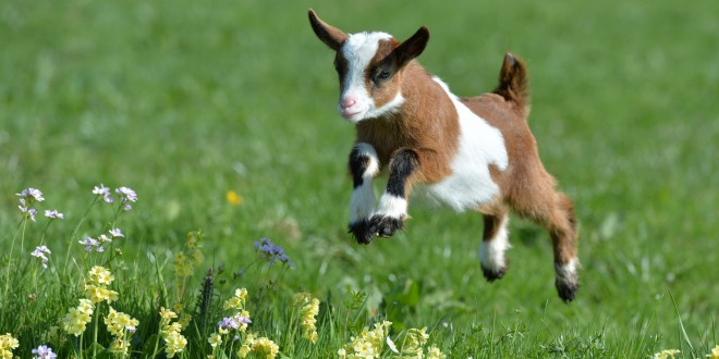 Cute Goats Wallpapers