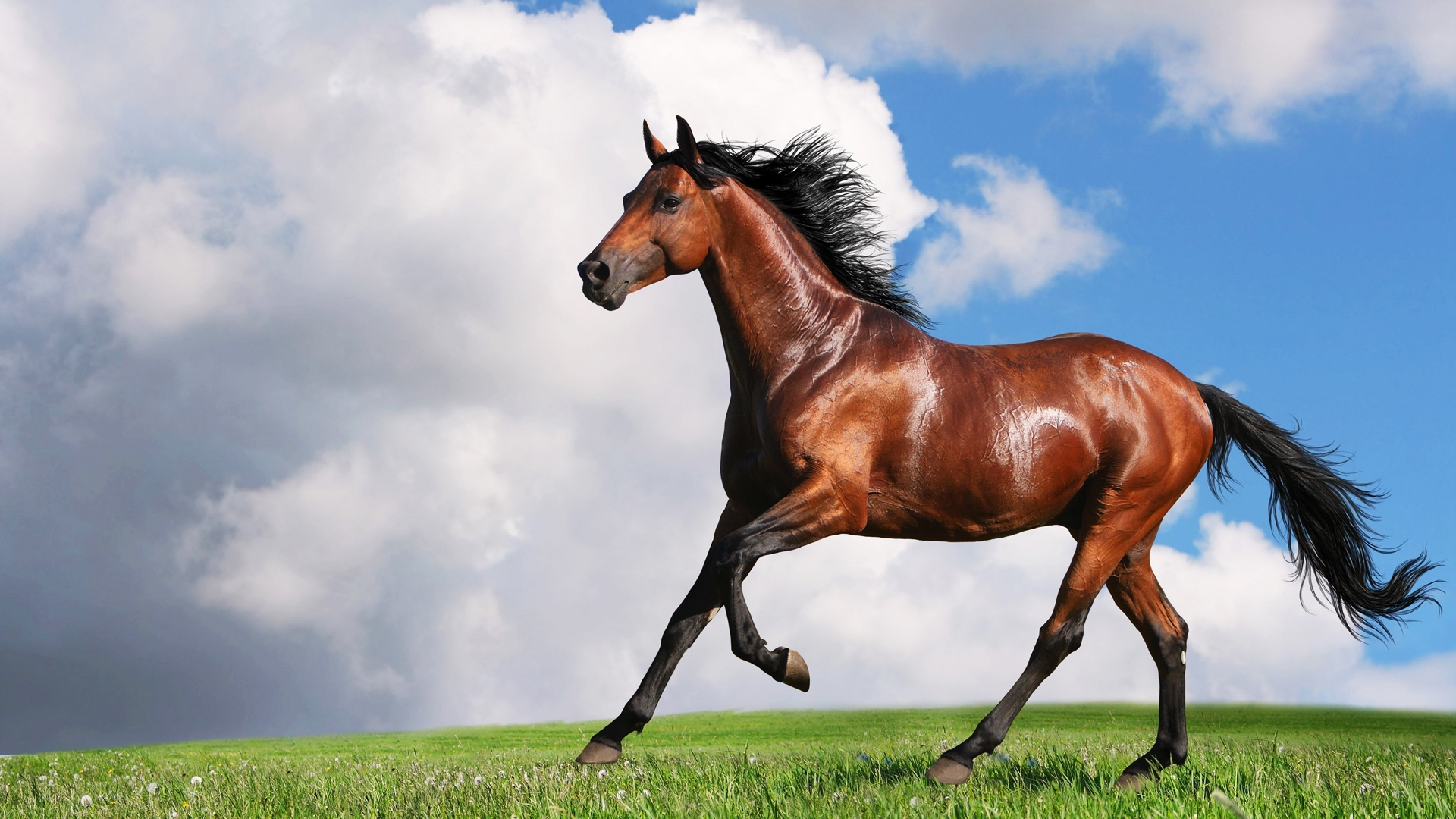 Arabian horse wallpapers pictures images - Arabian horse pictures ...