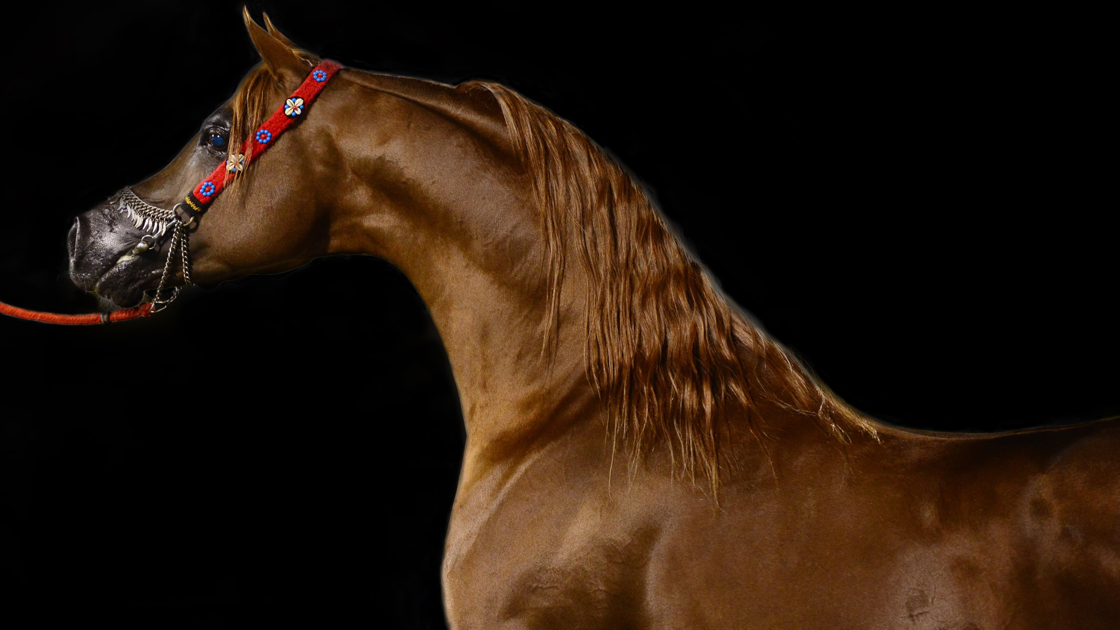 Arabian horse wallpapers pictures images arabian horse wallpaper thecheapjerseys Image collections
