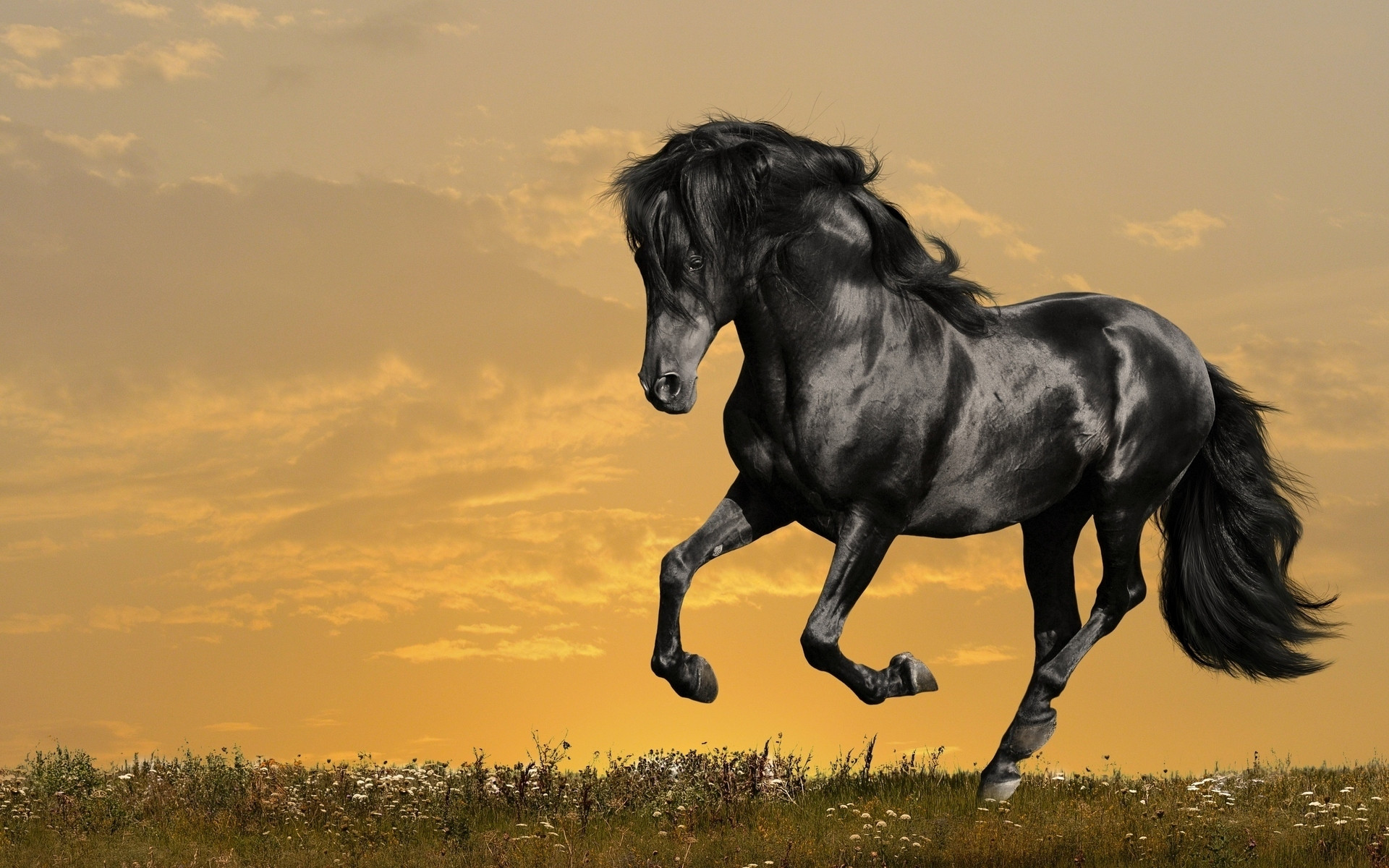 Arabian Horse Wallpapers Pictures Images