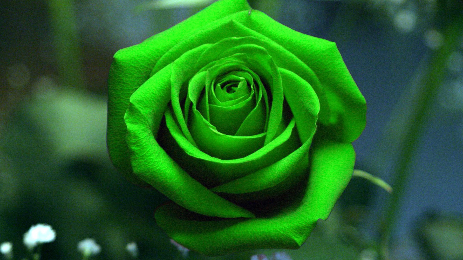 green rose wallpapers pictures images