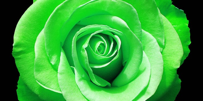 Green Rose Wallpapers