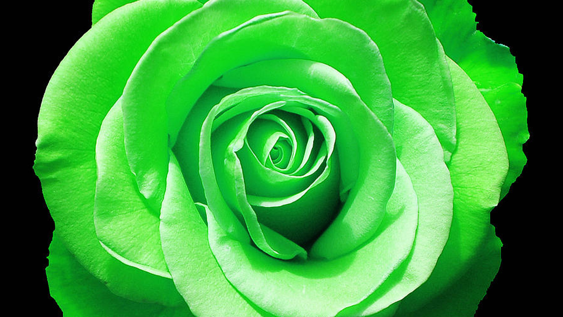 green rose black background - photo #14