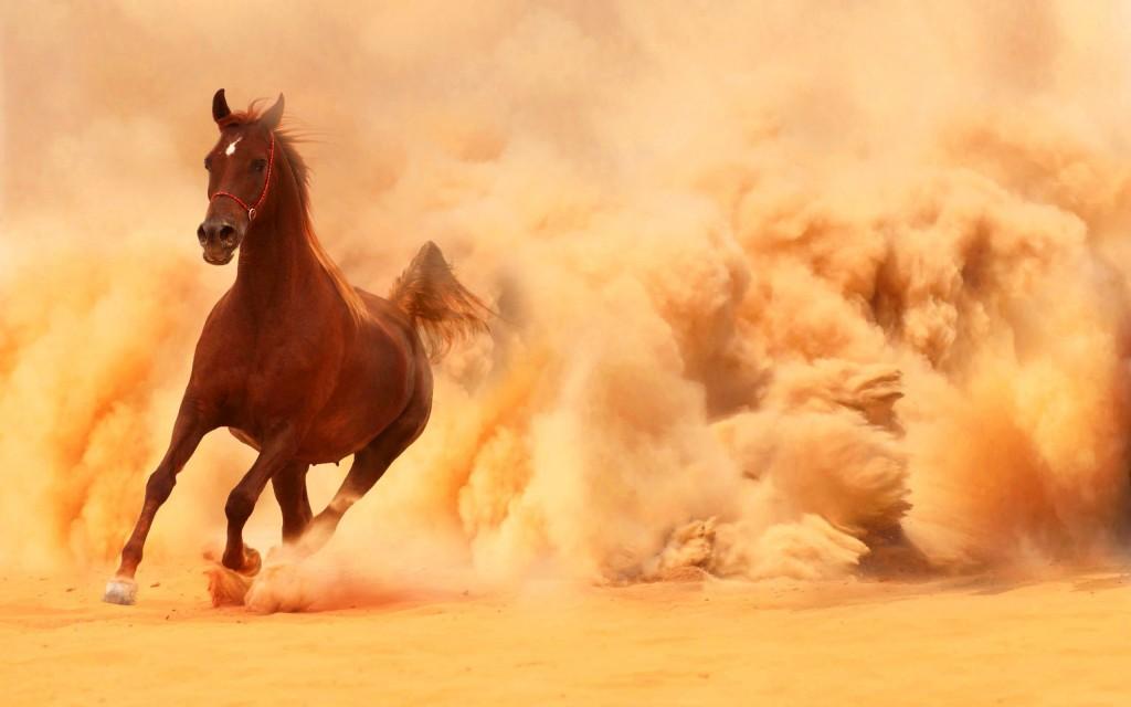 Arabian horse wallpapers pictures images - Arabian horse pics ...