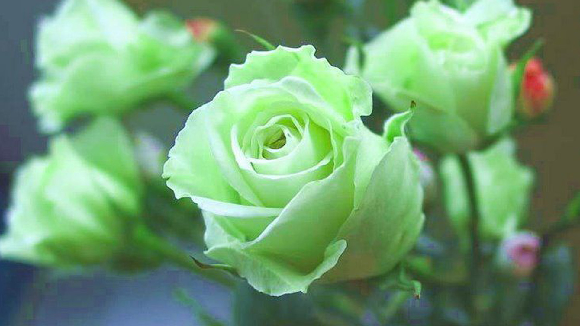 Green Rose Wallpapers, Pictures, Images