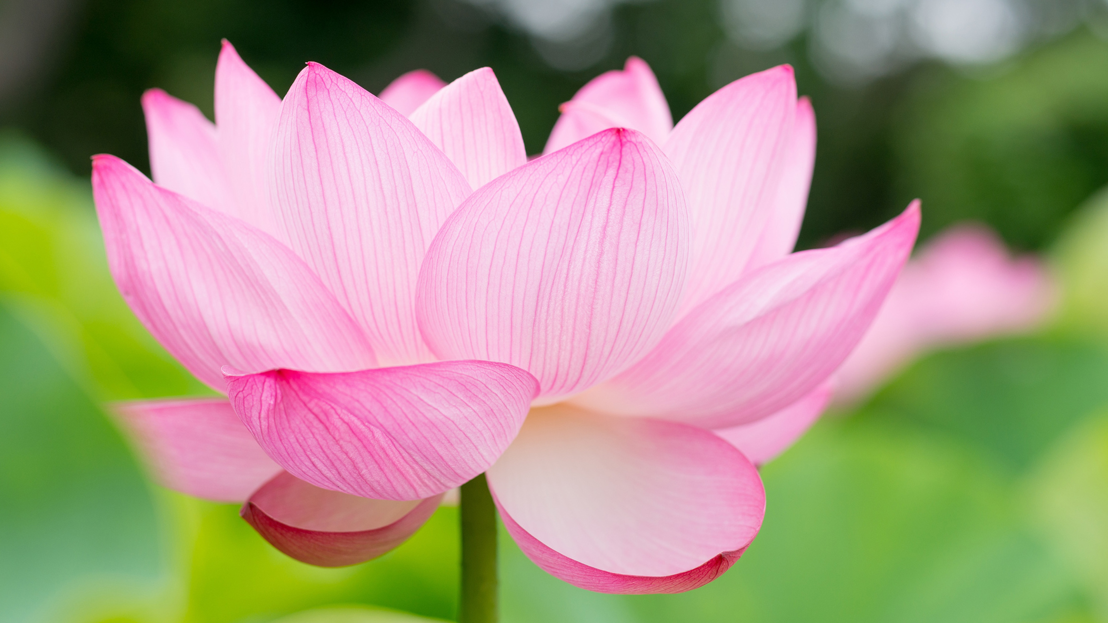 Lotus flower wallpapers pictures images lotus flower wallpaper mightylinksfo