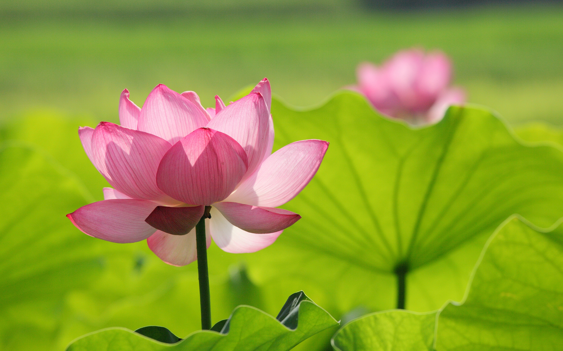 Lotus Flower Wallpapers, Pictures, Images