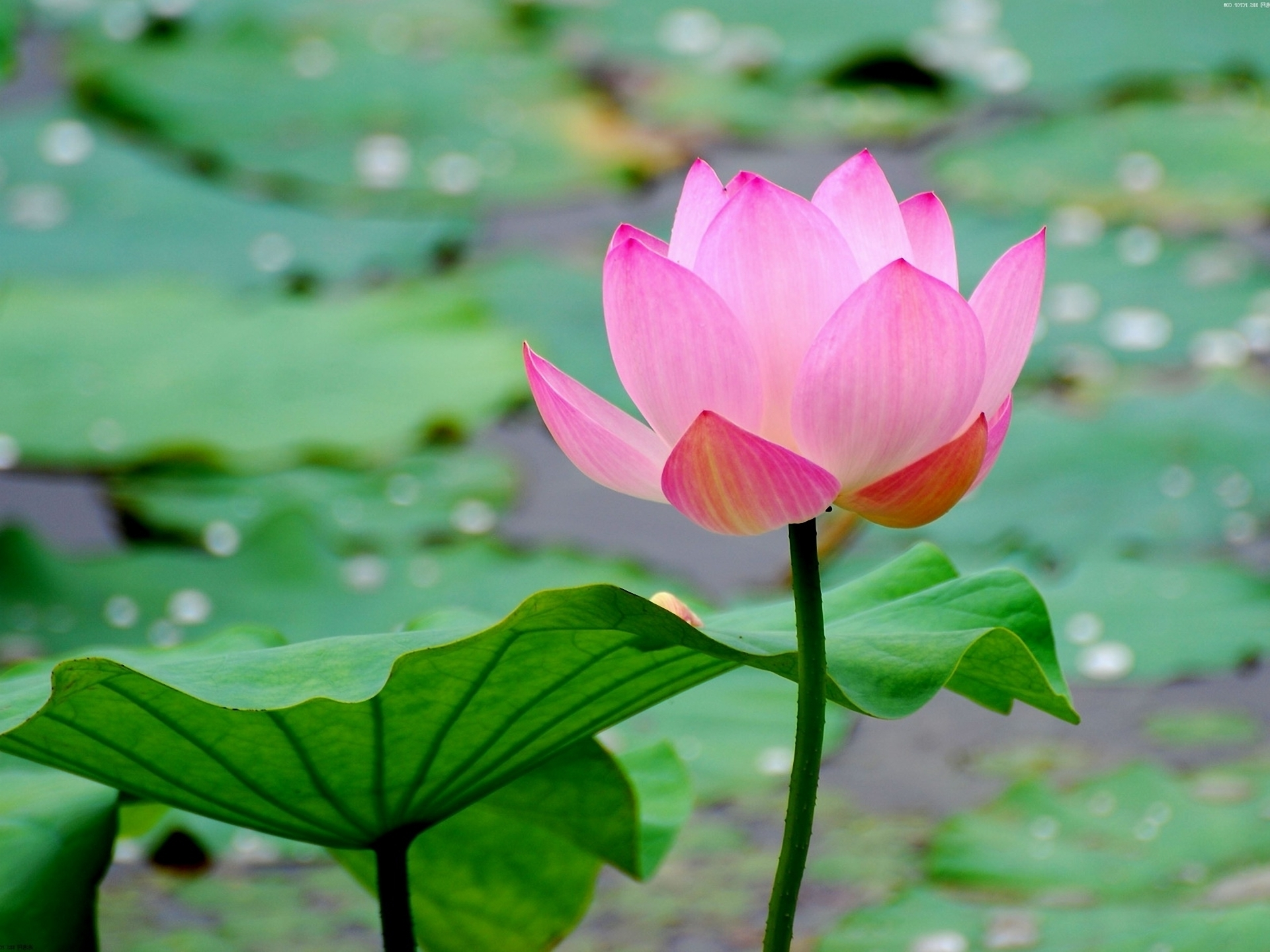 Lotus flower wallpapers pictures images lotus flower wallpaper lotus flower wallpaper izmirmasajfo