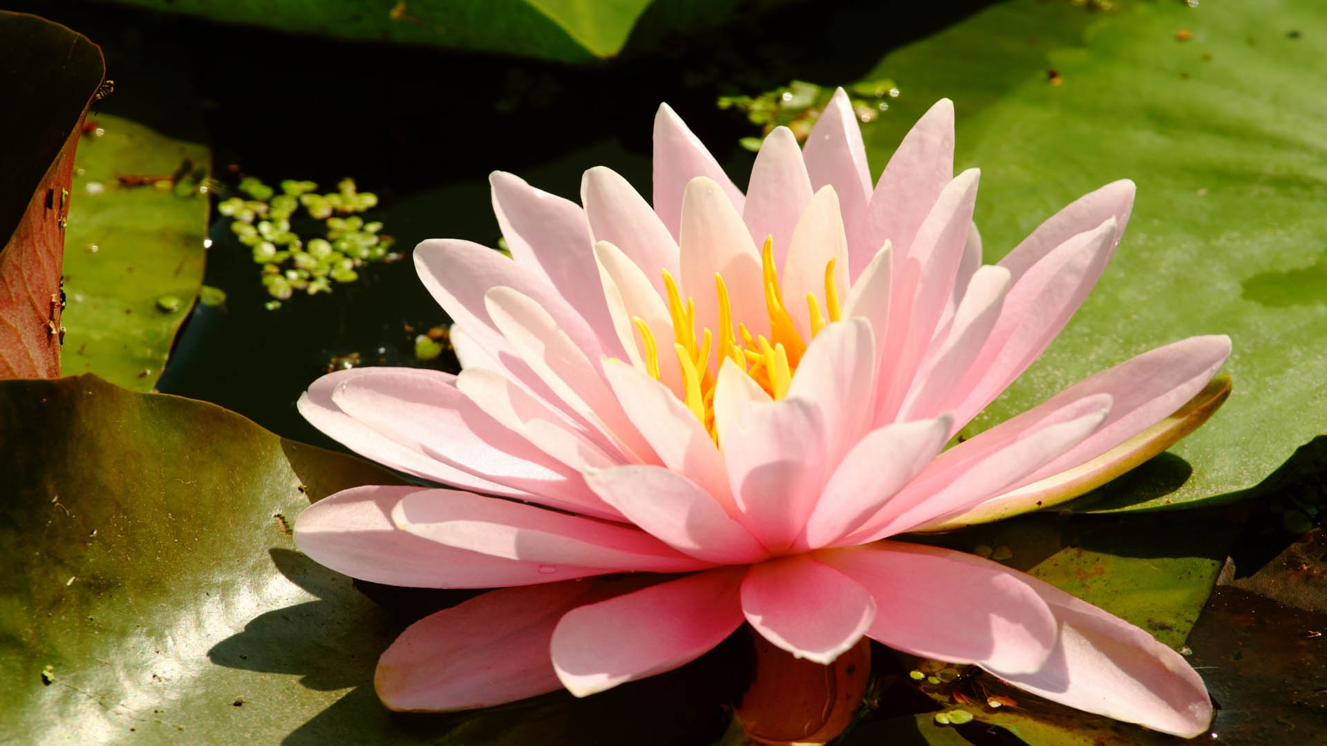 Lotus flower wallpapers pictures images lotus flower wallpaper izmirmasajfo
