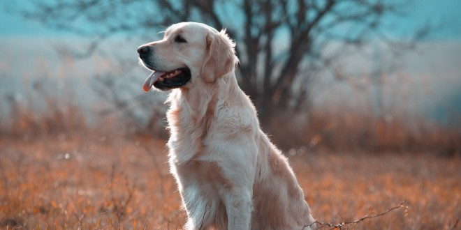 Golden Retriever Wallpapers