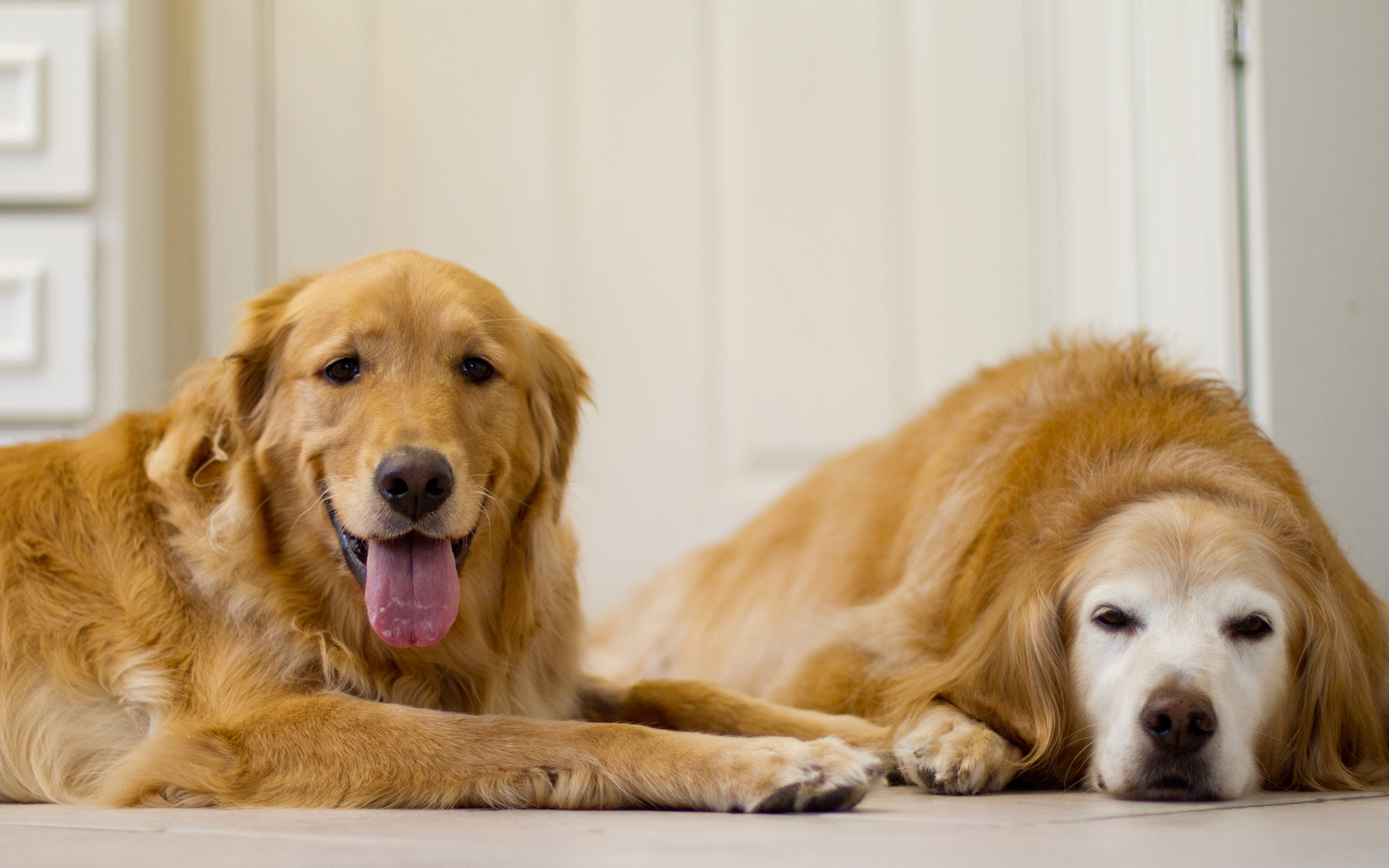 How Much Dog Food For A Golden Retriever Puppy