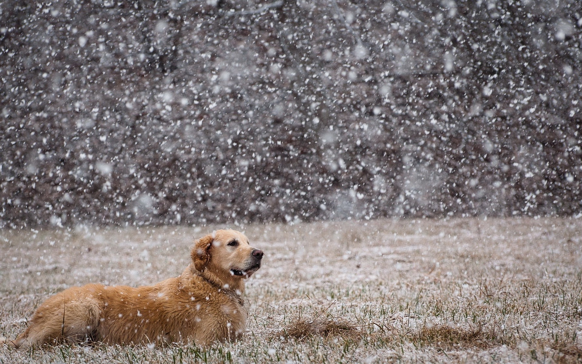 Golden Retriever Wallpapers Pictures Images