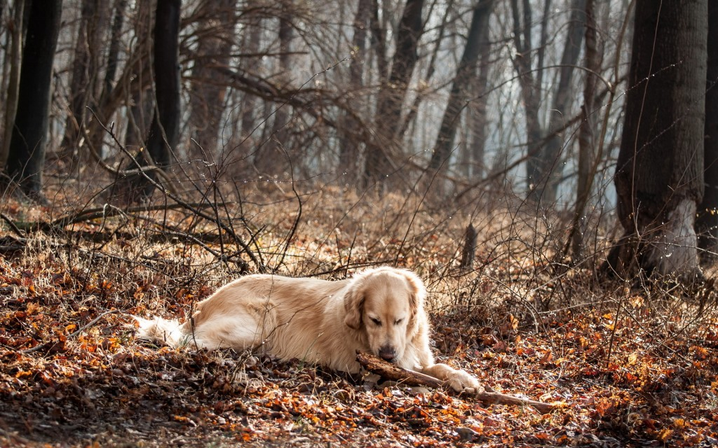 Golden Retriever Wallpaper