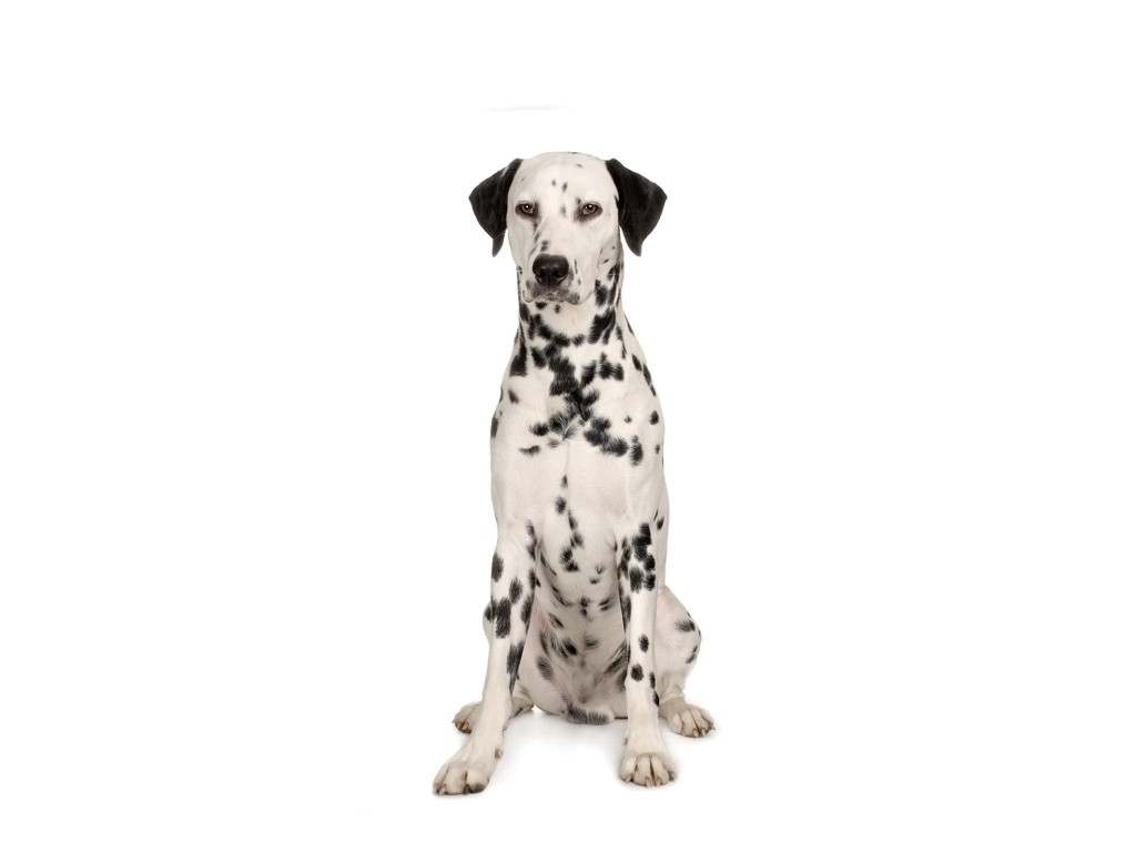 Dalmation Dog Wallpaper 2048x1536