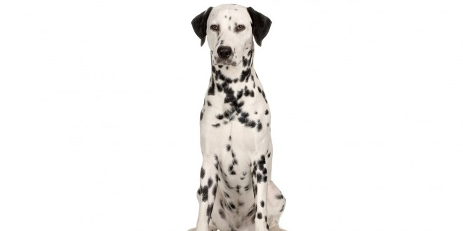 Dalmation Dog Wallpapers