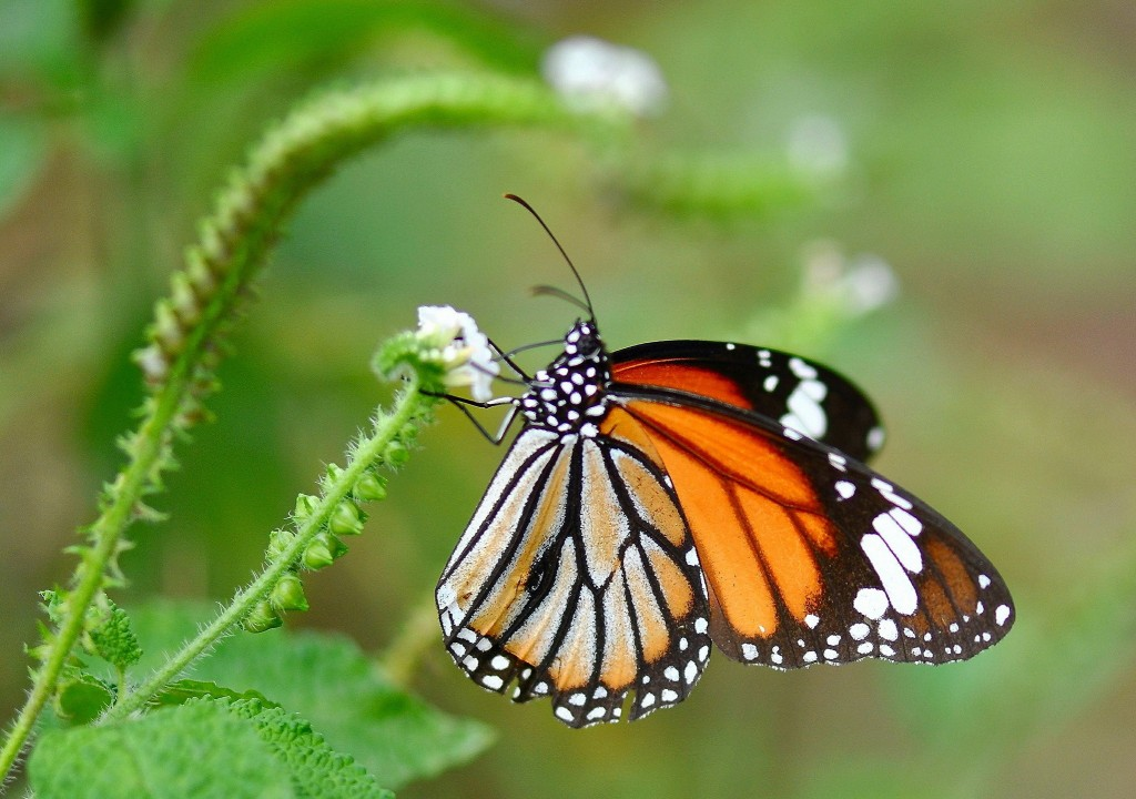 Butterfly Wallpaper 2047x1440