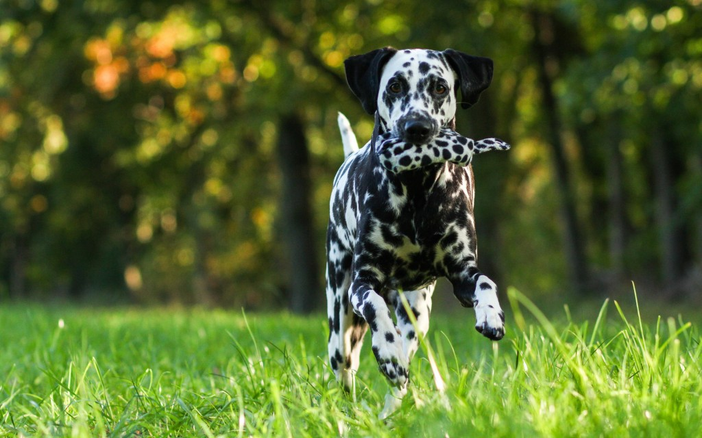 Dalmation Dog Widescreen Wallpaper 2880x1800