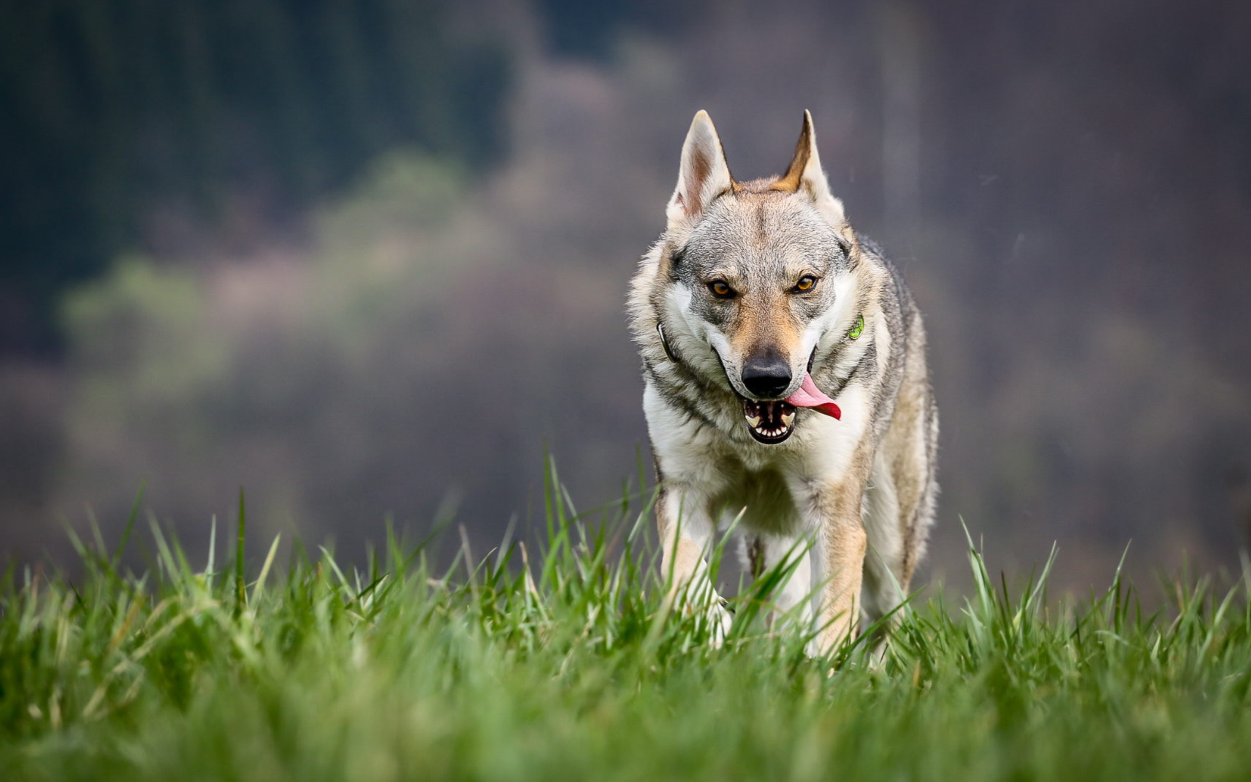 wolf wallpapers pictures images