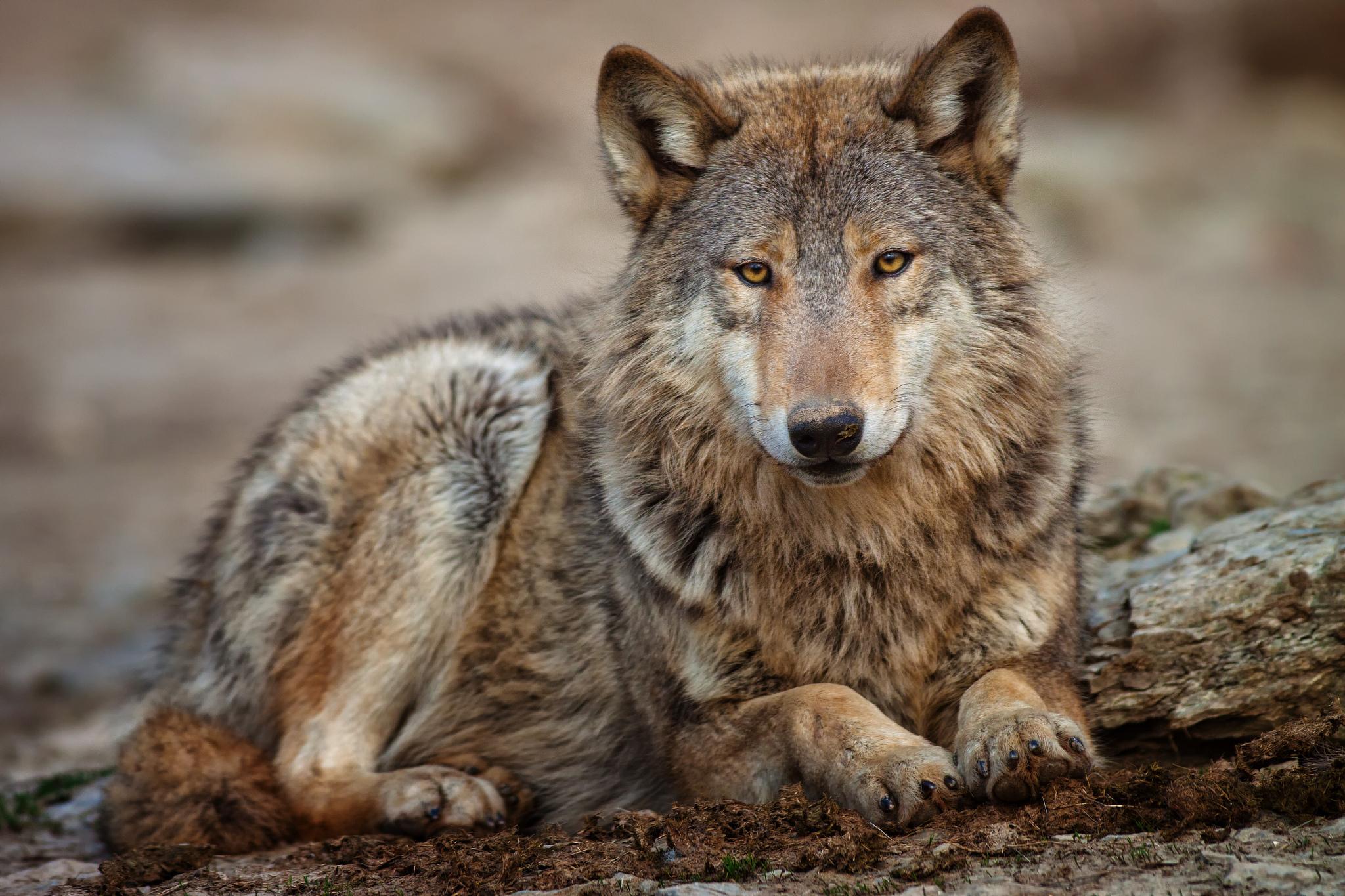 Wolf Nude Photos 47