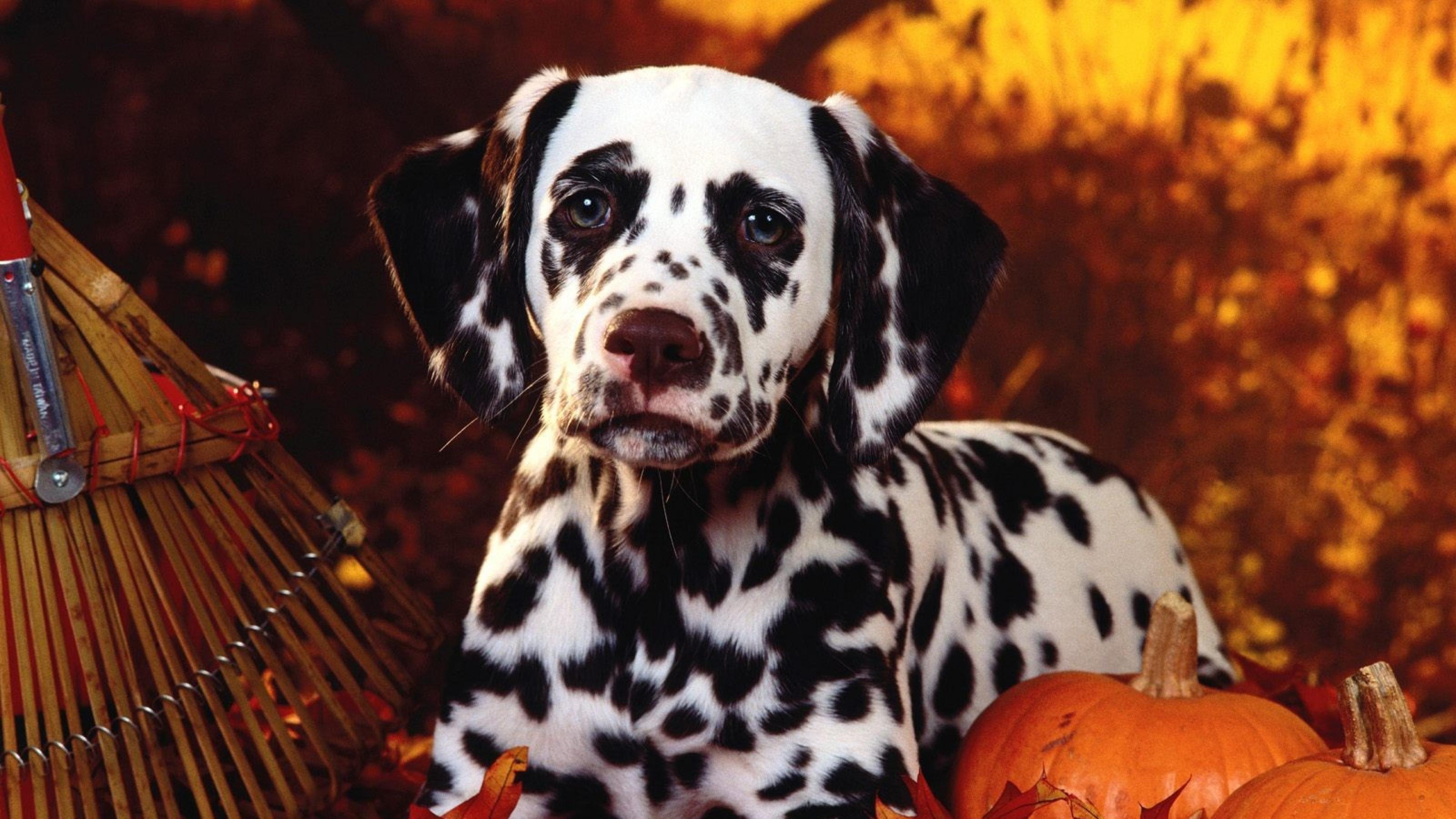 Download Wallpaper Halloween Puppy - dalmatian_dog_sit_breed_pumpkins_leaves_halloween_51671_3840x2160  Snapshot_217844.jpg