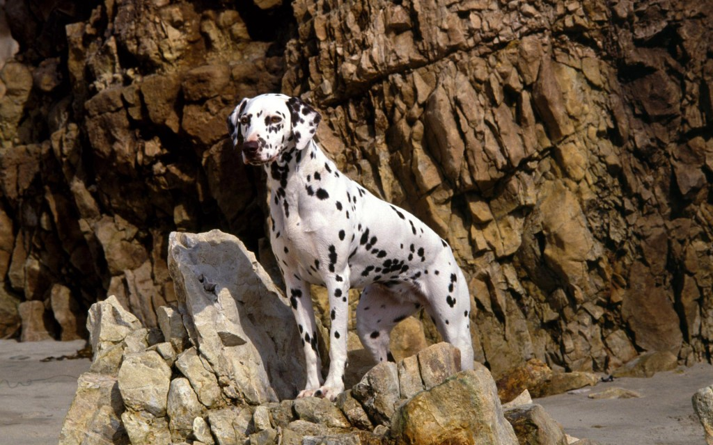 Dalmation Dog Widescreen Wallpaper 1920x1200