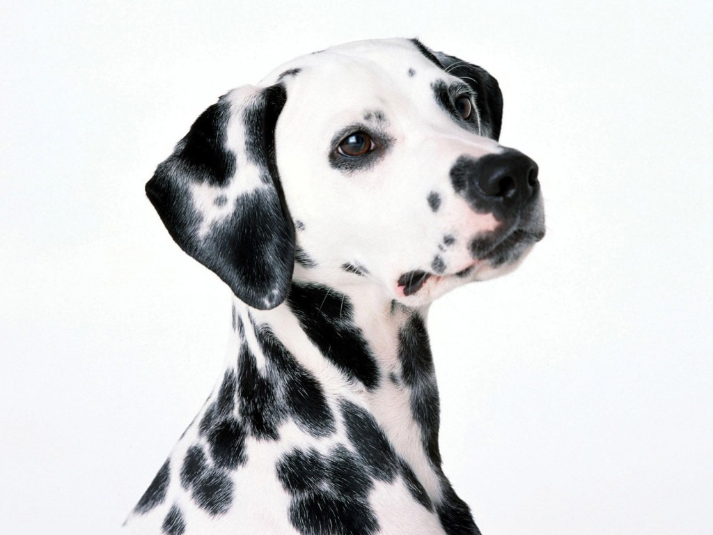 Dalmation Dog Wallpaper 1920x1440