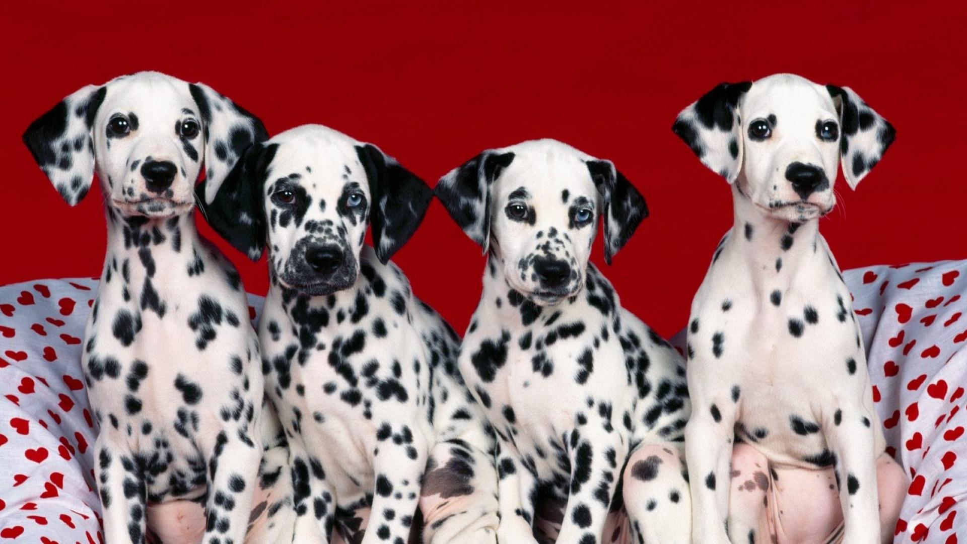 Dalmation Dog Full HD Wallpaper 1920x1080
